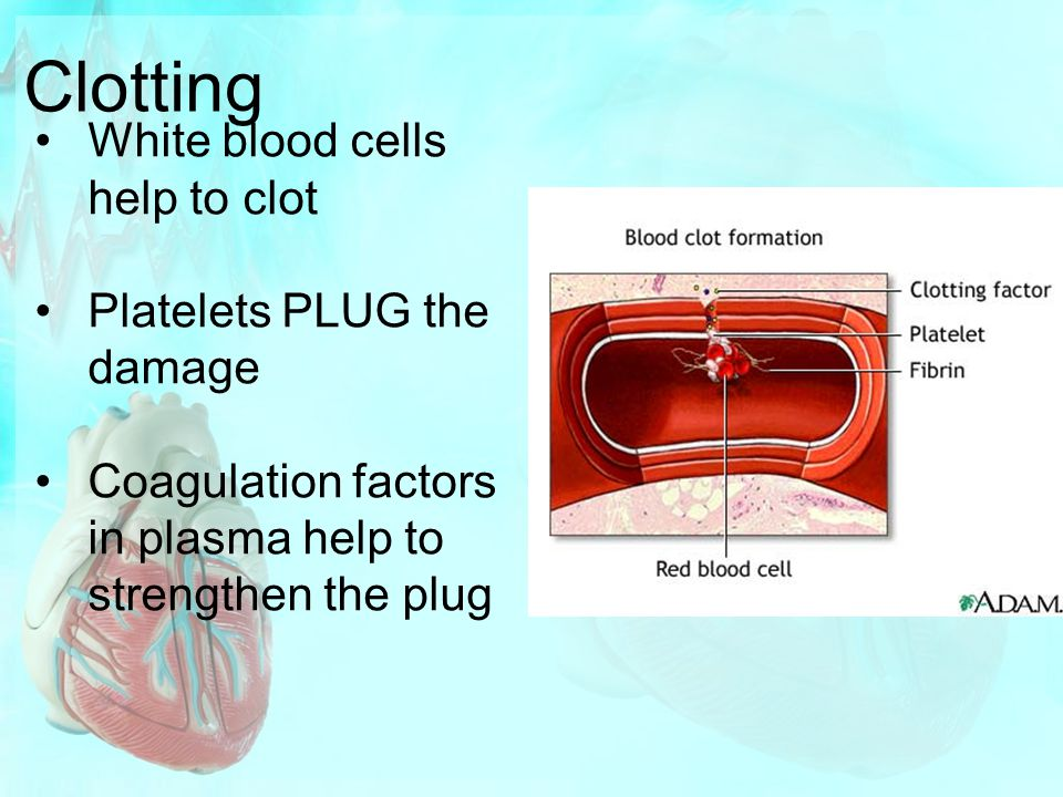 Clotting White blood cells help to clot Platelets PLUG the damage