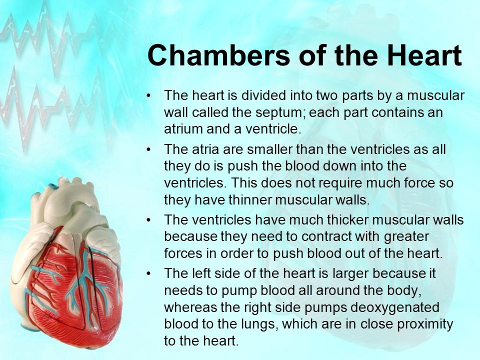Chambers of the Heart The heart is divided into two parts by a muscular wall called the septum; each part contains an atrium and a ventricle.