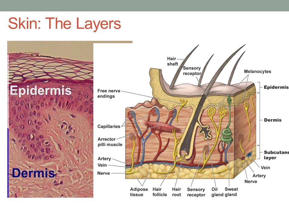 Skin: The Layers