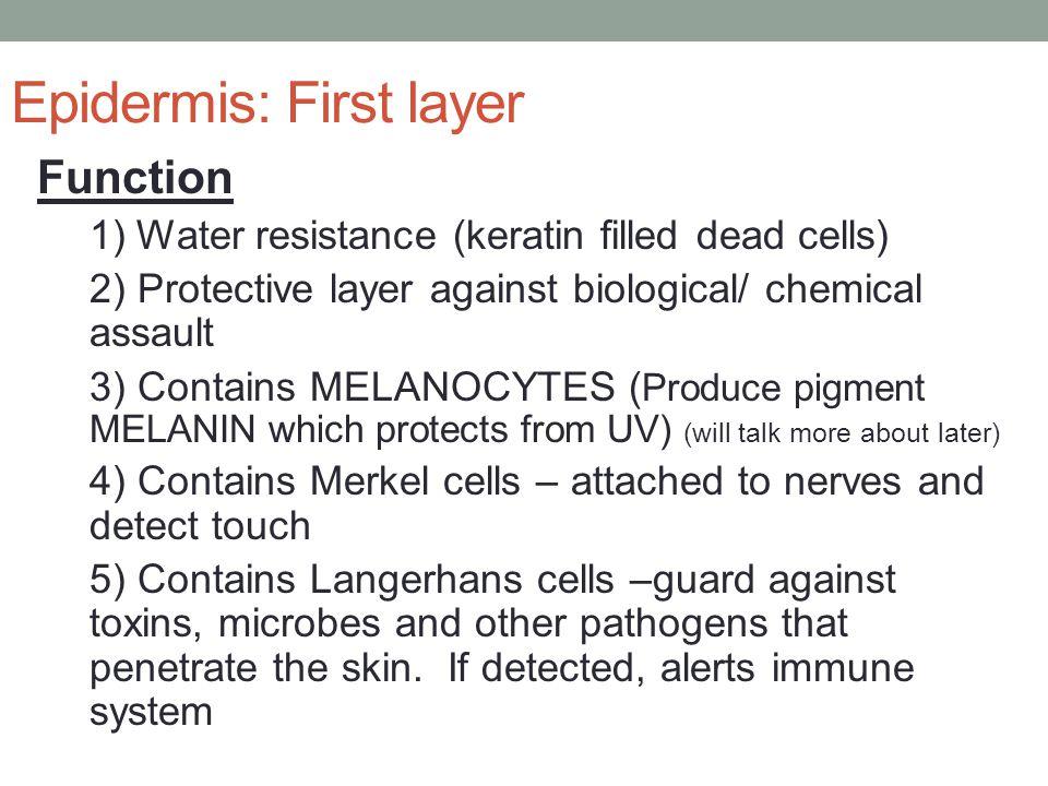 Epidermis: First layer