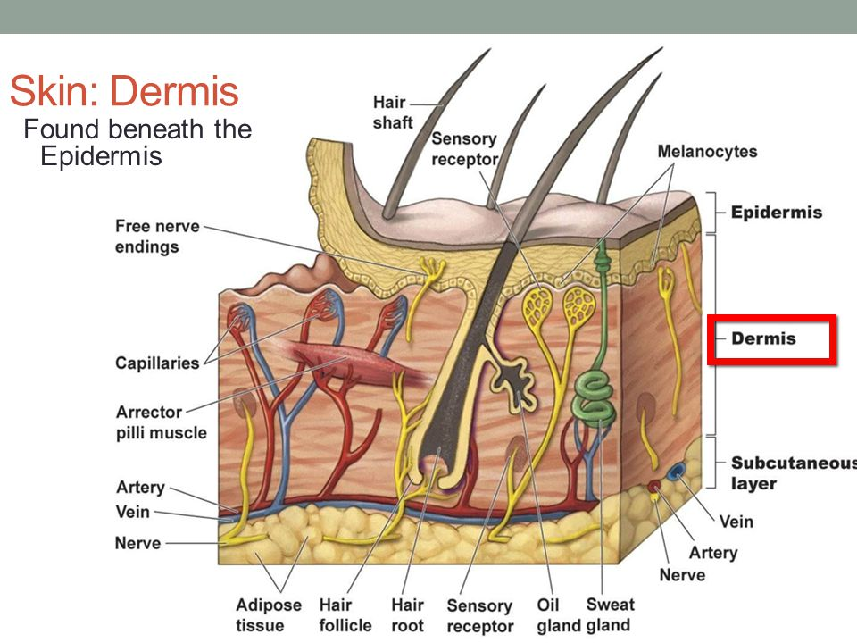 Skin: Dermis Found beneath the Epidermis