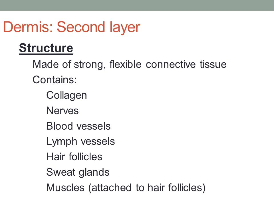 Dermis: Second layer Structure