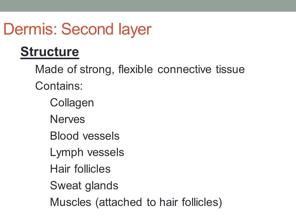 Dermis: Second layer Structure