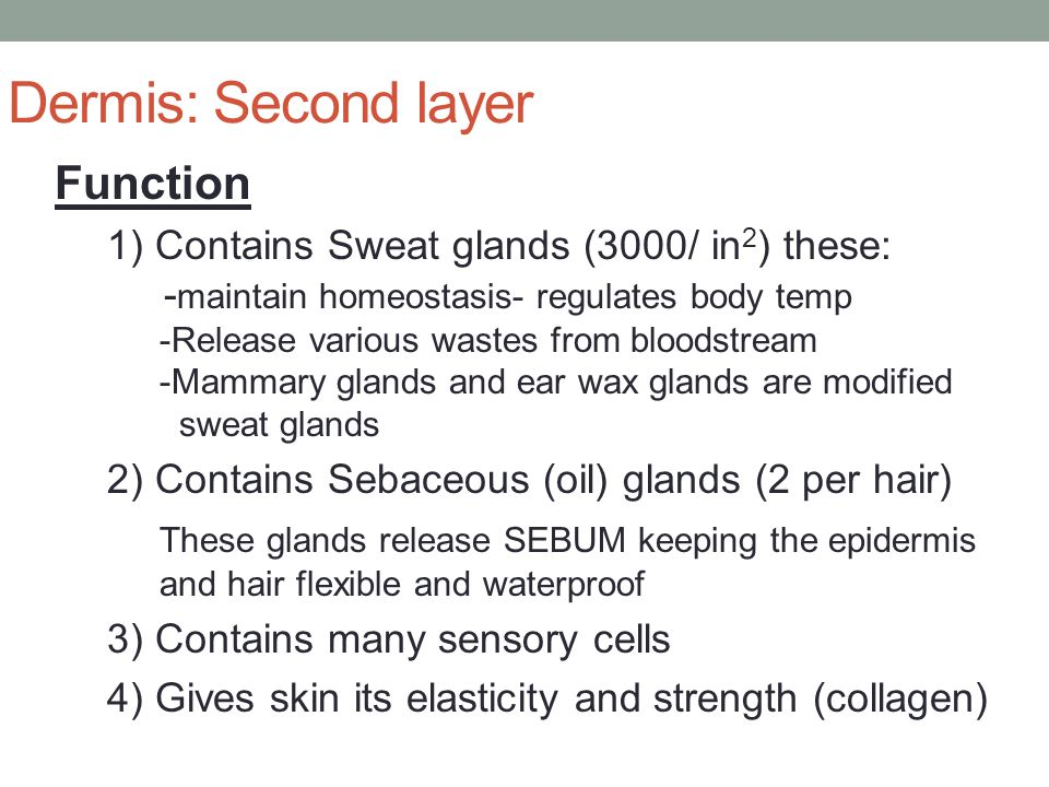 Dermis: Second layer Function