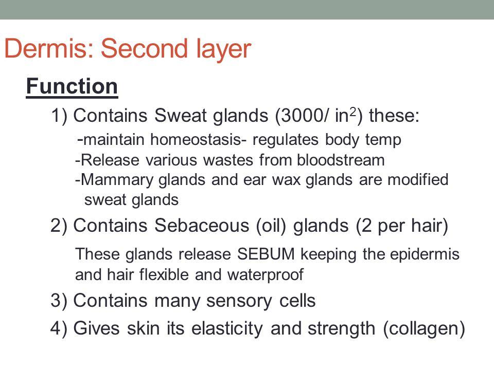 Dermis: Second layer Function