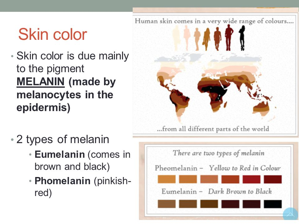 Skin color 2 types of melanin