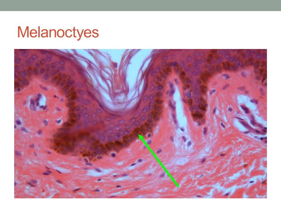 Melanoctyes