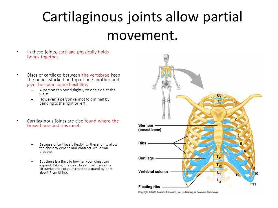 Cartilaginous joints allow partial movement.