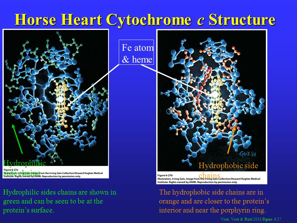 Horse Heart Cytochrome c Structure