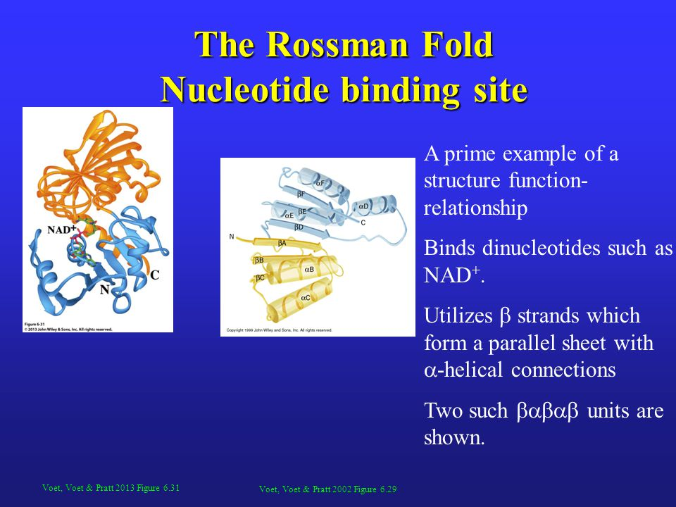 The Rossman Fold Nucleotide binding site