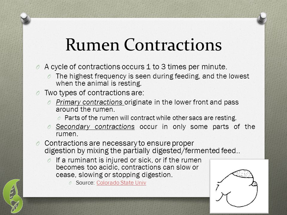 Rumen Contractions A cycle of contractions occurs 1 to 3 times per minute.
