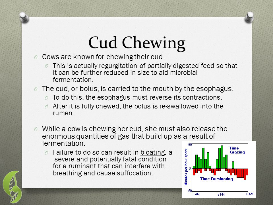 Cud Chewing Cows are known for chewing their cud.