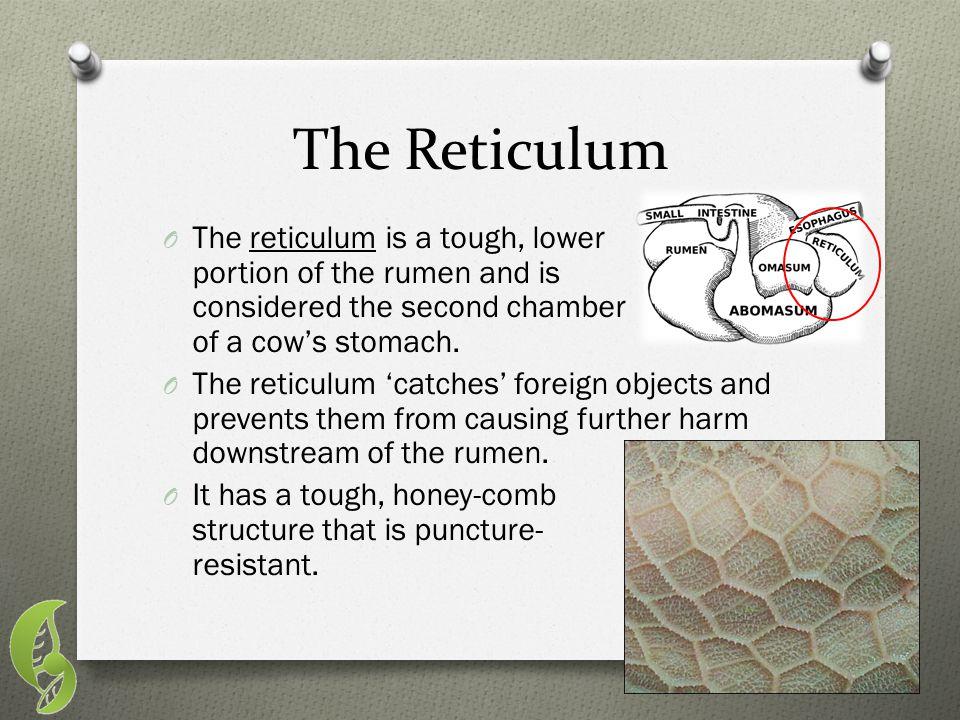 The Reticulum The reticulum is a tough, lower portion of the rumen and is considered the second chamber of a cow's stomach.