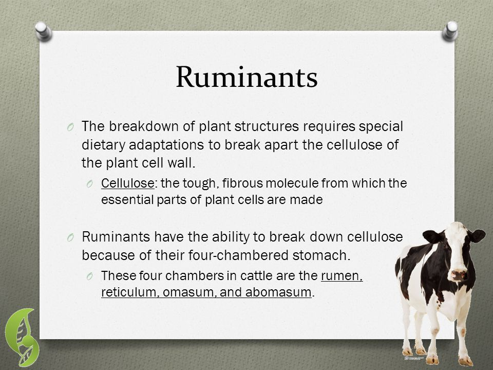 Ruminants The breakdown of plant structures requires special dietary adaptations to break apart the cellulose of the plant cell wall.