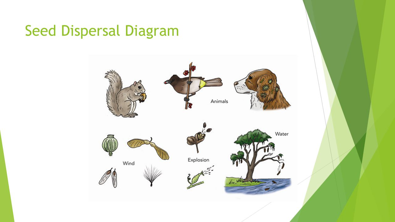 Seed Dispersal Diagram