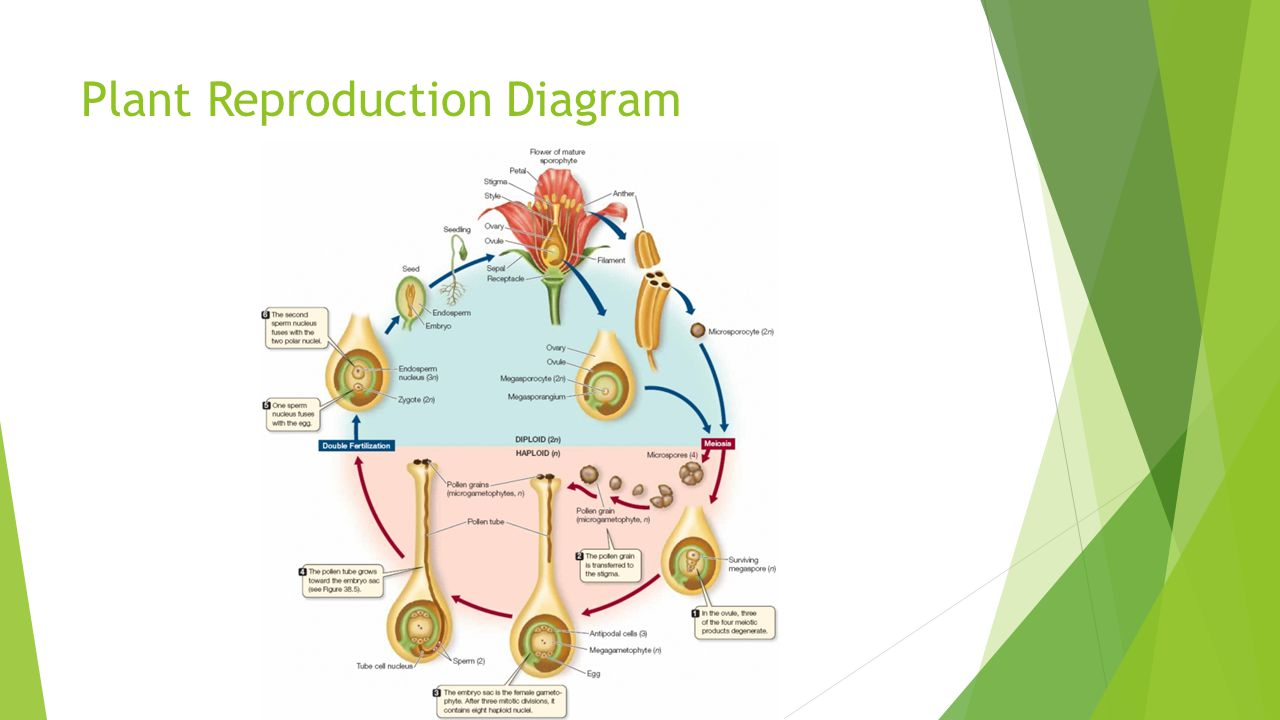 Plant Evolution & Roots - ppt video online download