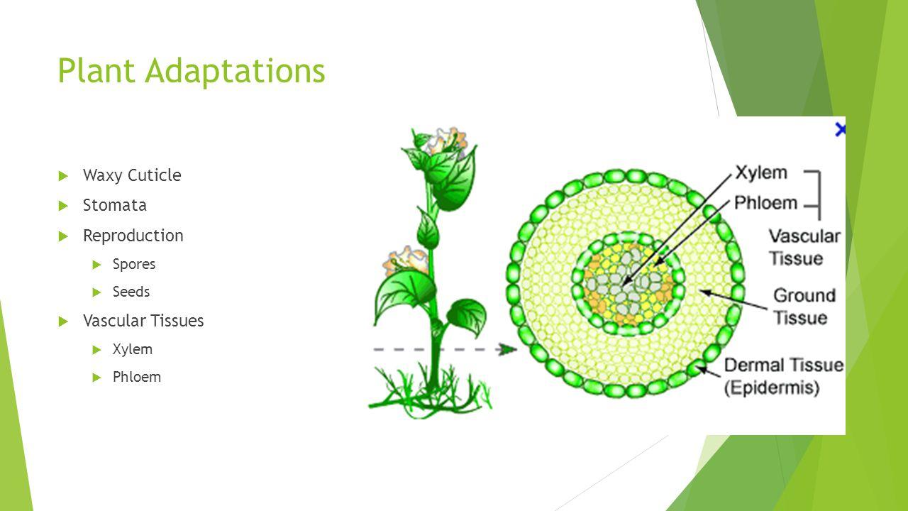 Plant Adaptations Waxy Cuticle Stomata Reproduction Vascular Tissues