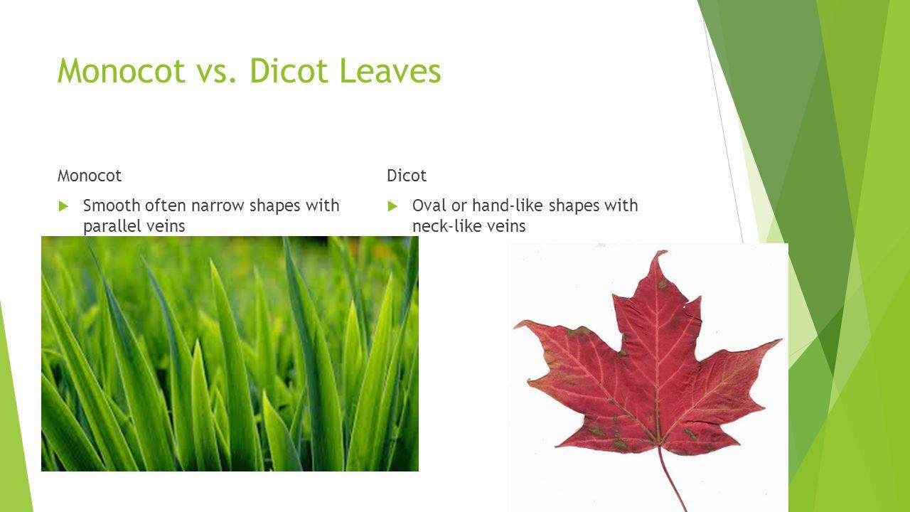 Monocot vs. Dicot Leaves