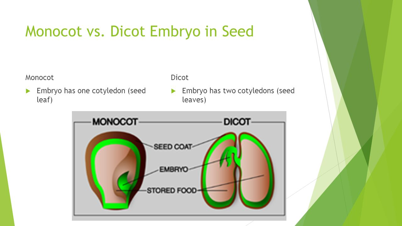 Monocot vs. Dicot Embryo in Seed