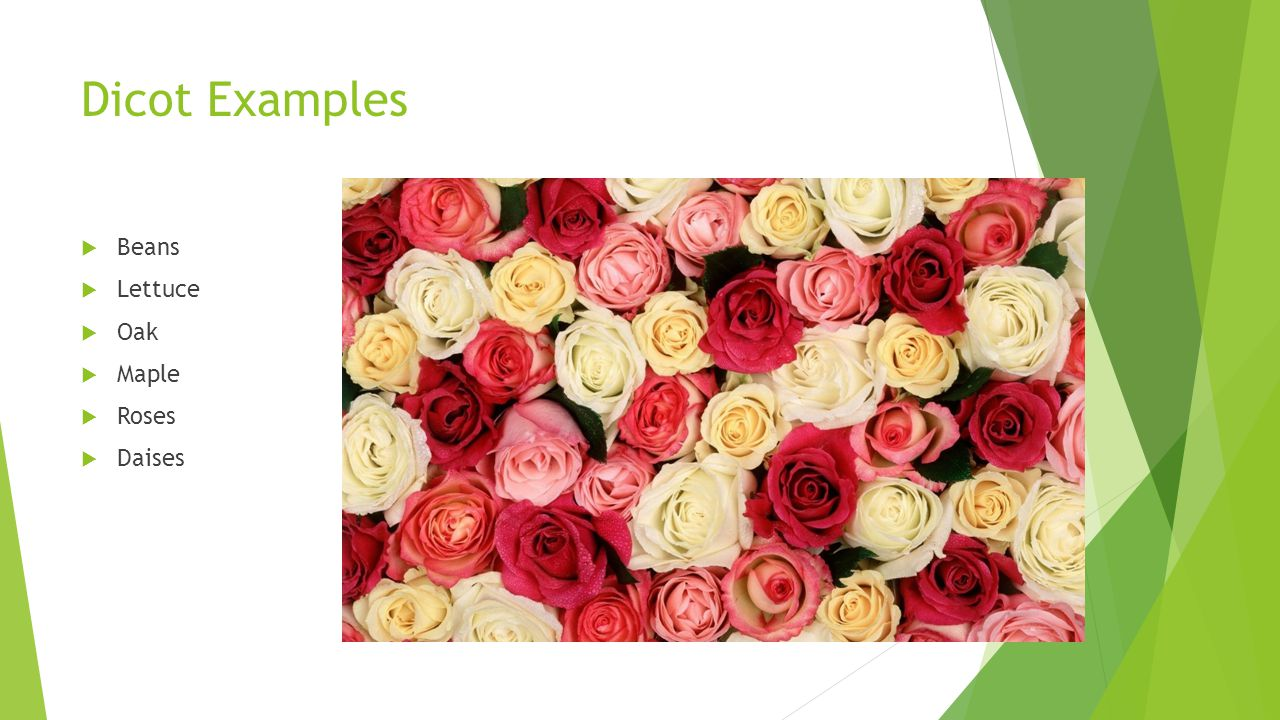 Dicot Examples Beans Lettuce Oak Maple Roses Daises