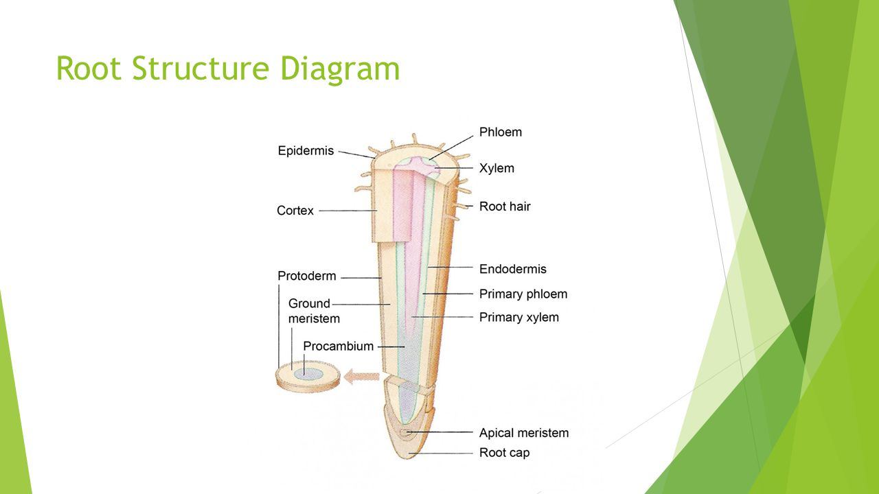 Root Structure Diagram