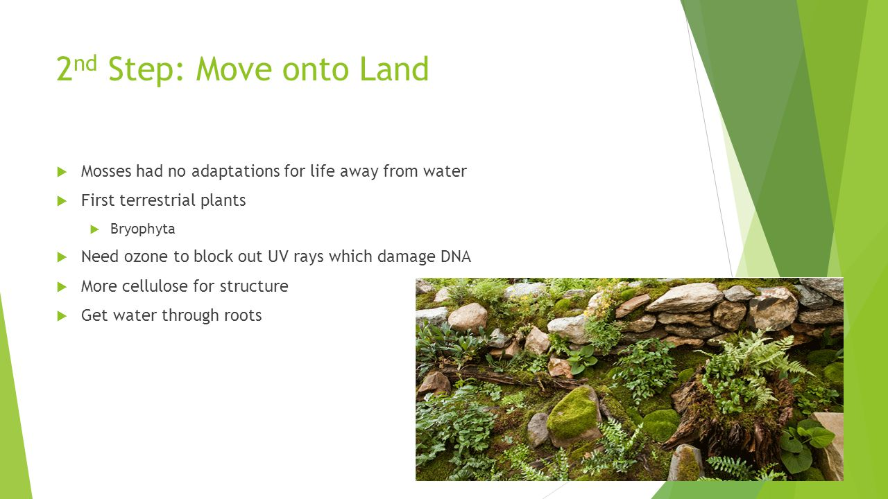 2nd Step: Move onto Land Mosses had no adaptations for life away from water. First terrestrial plants.