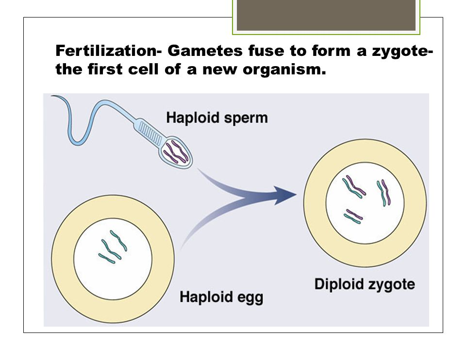 Fertilization- Gametes fuse to form a zygote-the first cell of a new organism.