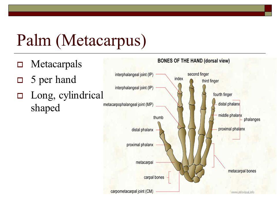Palm (Metacarpus) Metacarpals 5 per hand Long, cylindrical shaped