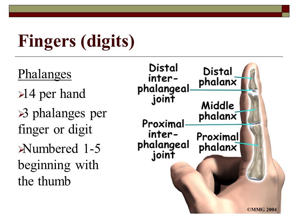 Fingers (digits) Phalanges 14 per hand 3 phalanges per finger or digit