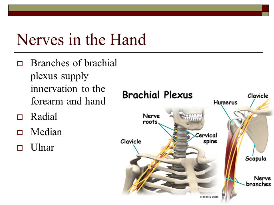 Nerves in the Hand Branches of brachial plexus supply innervation to the forearm and hand. Radial.