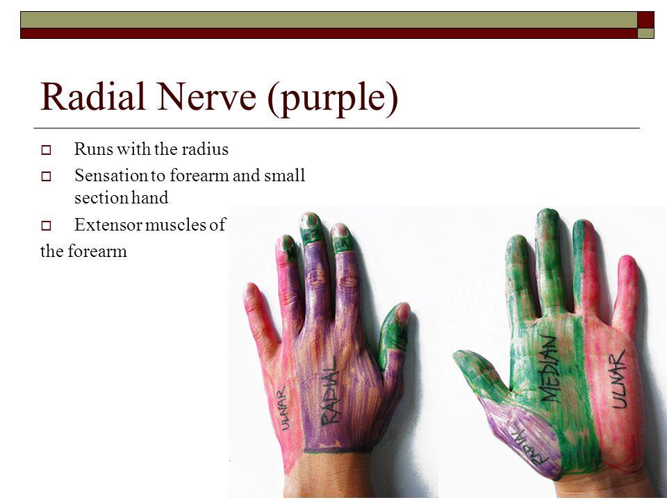 Radial Nerve (purple) Runs with the radius
