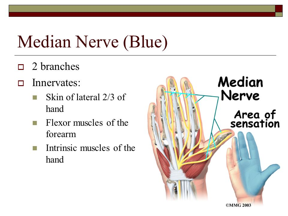 Median Nerve (Blue) 2 branches Innervates: Skin of lateral 2/3 of hand