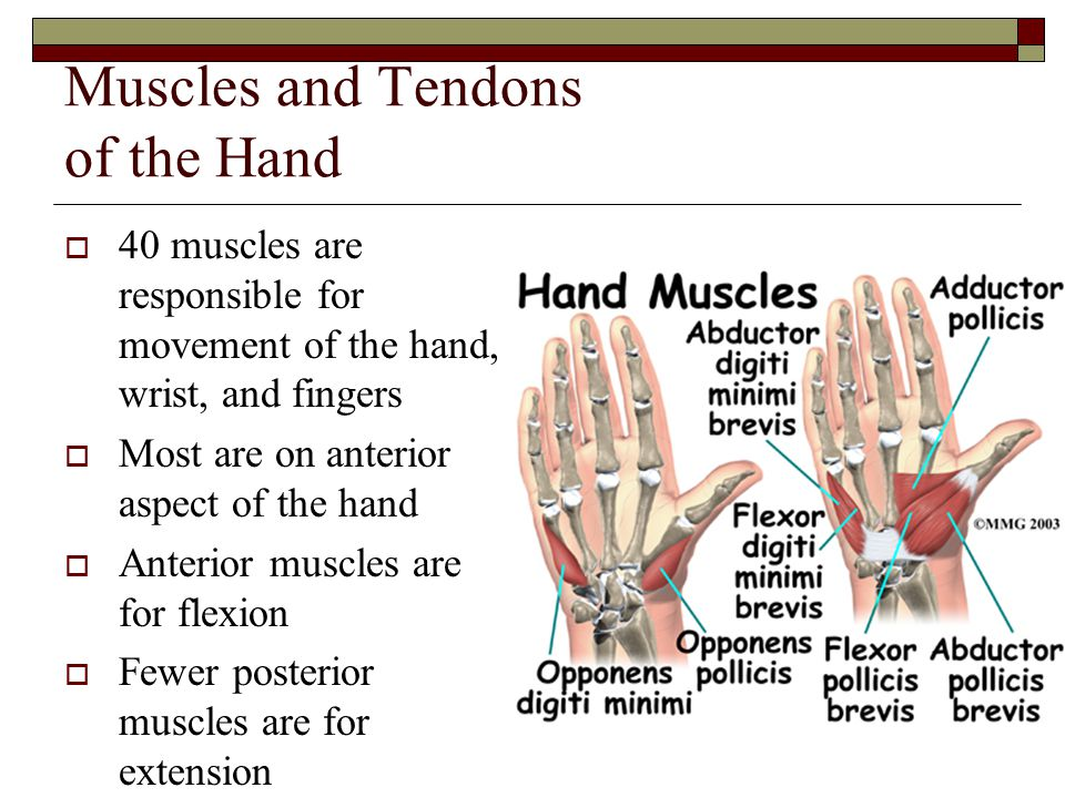 Muscles and Tendons of the Hand