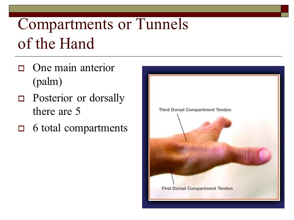 Compartments or Tunnels of the Hand