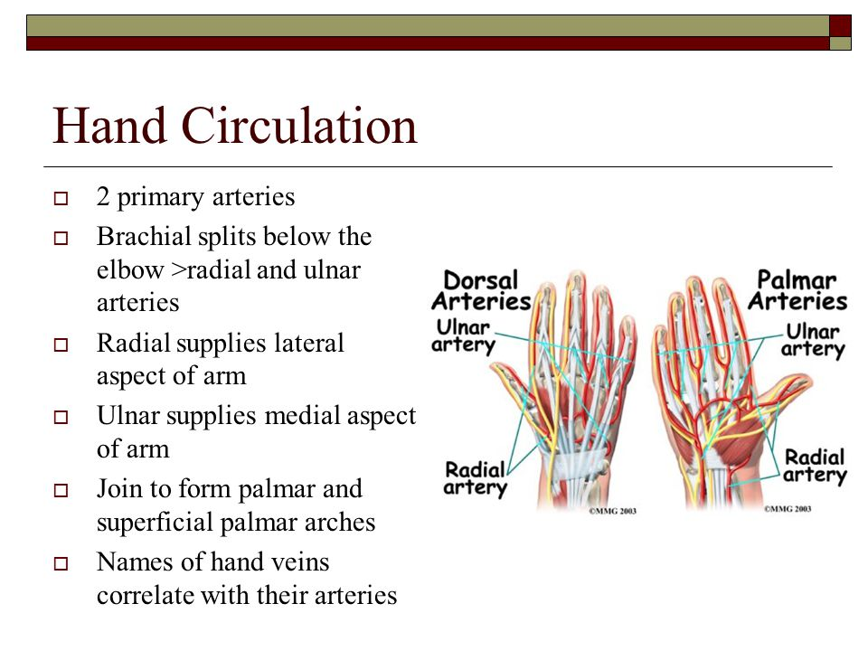 Hand Circulation 2 primary arteries