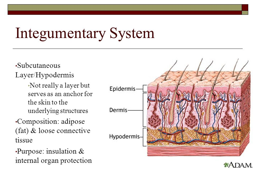 Integumentary System Subcutaneous Layer/Hypodermis
