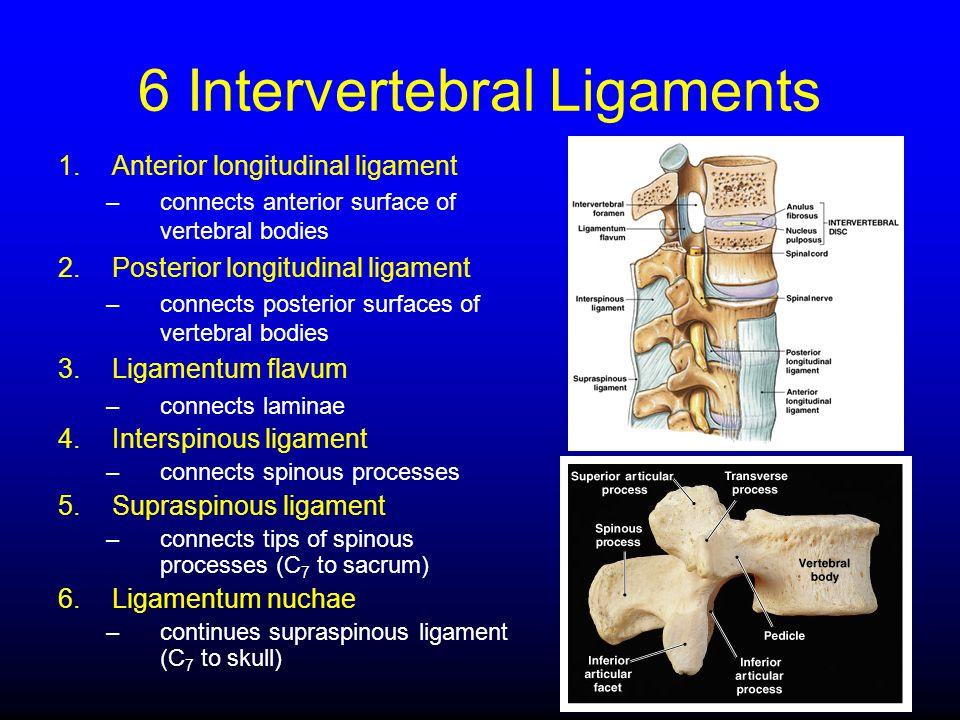 6 Intervertebral Ligaments