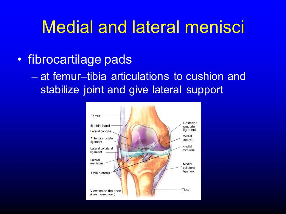 Medial and lateral menisci
