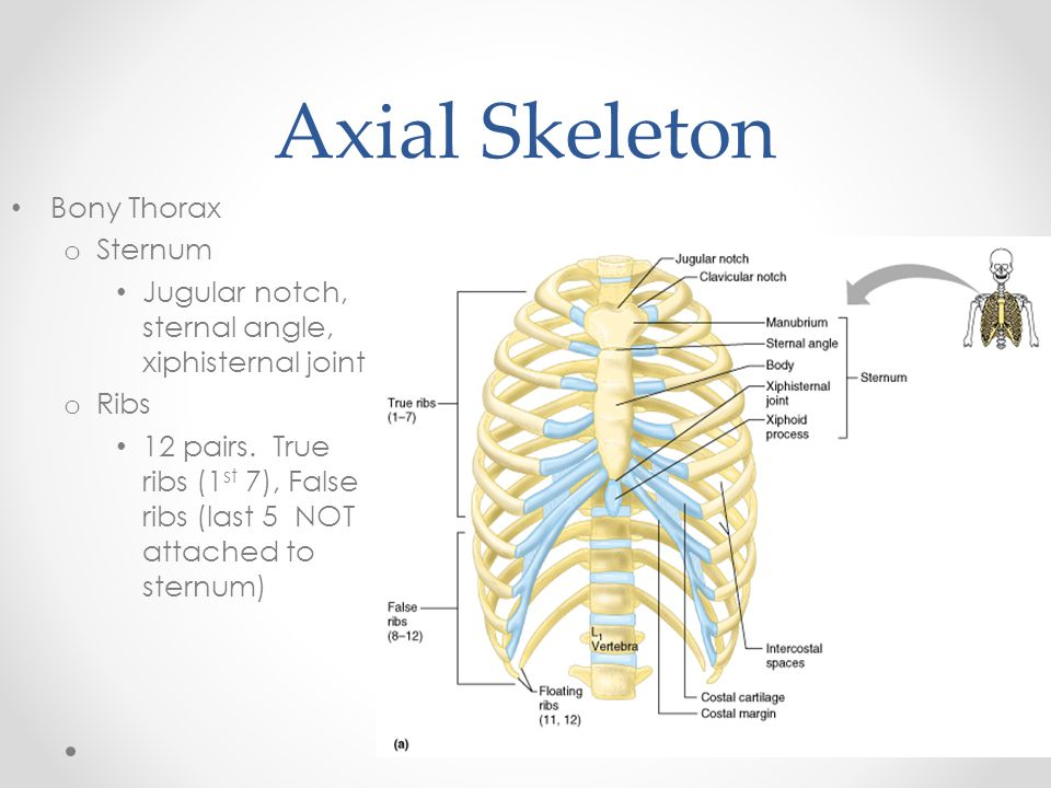 Axial Skeleton Bony Thorax Sternum