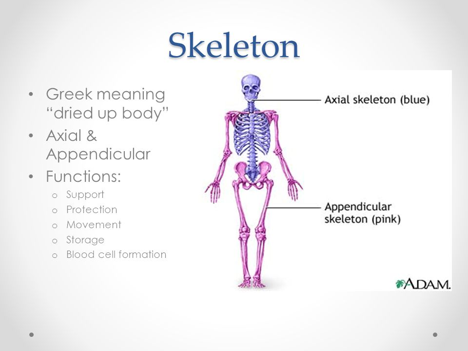 Skeleton Greek meaning dried up body Axial & Appendicular Functions: