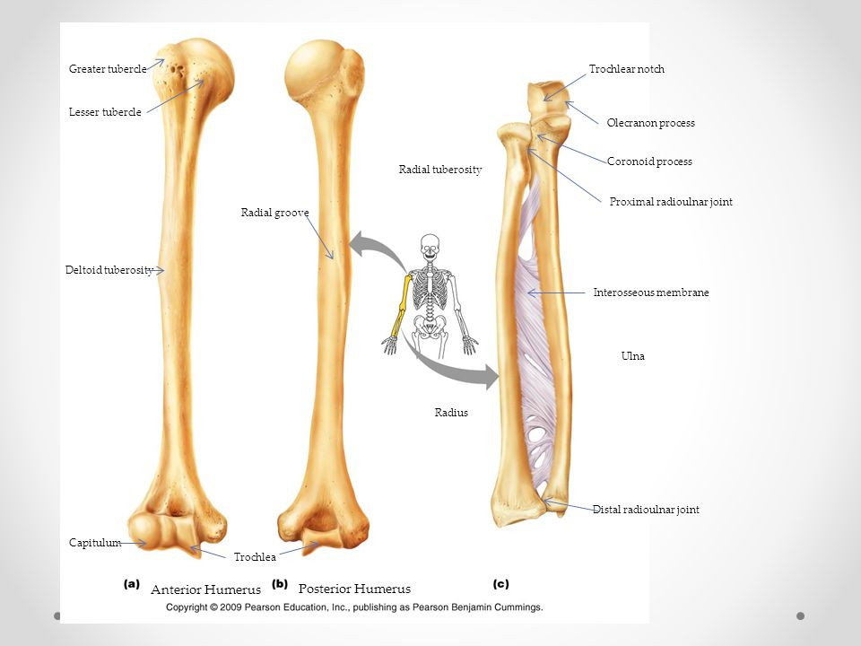 Anterior Humerus Posterior Humerus Greater tubercle Lesser tubercle