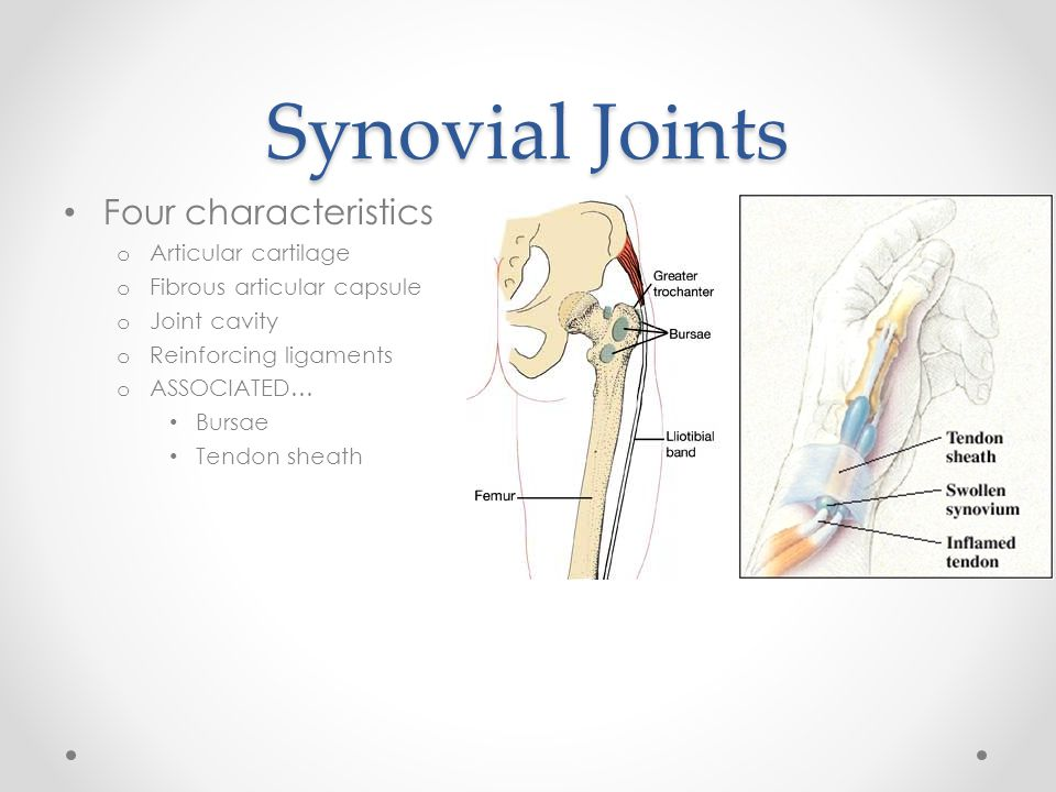Synovial Joints Four characteristics Articular cartilage