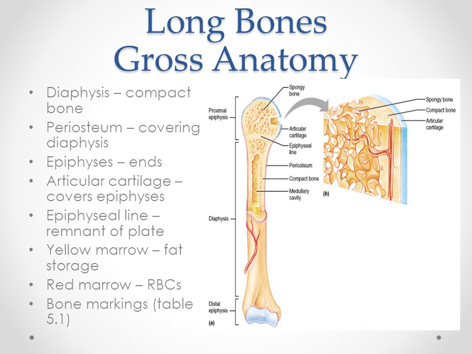 Long Bones Gross Anatomy