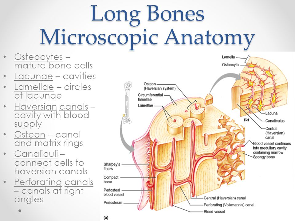 Long Bones Microscopic Anatomy