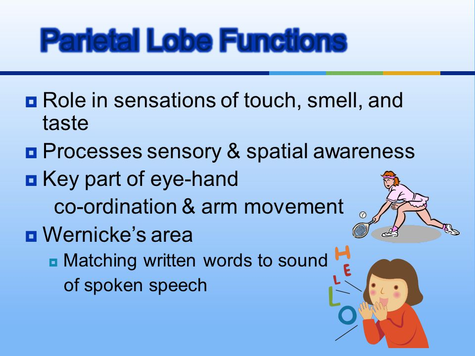 Parietal Lobe Functions