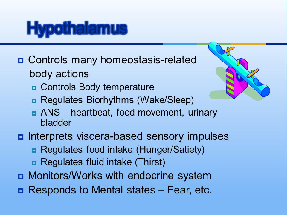 Hypothalamus Controls many homeostasis-related body actions
