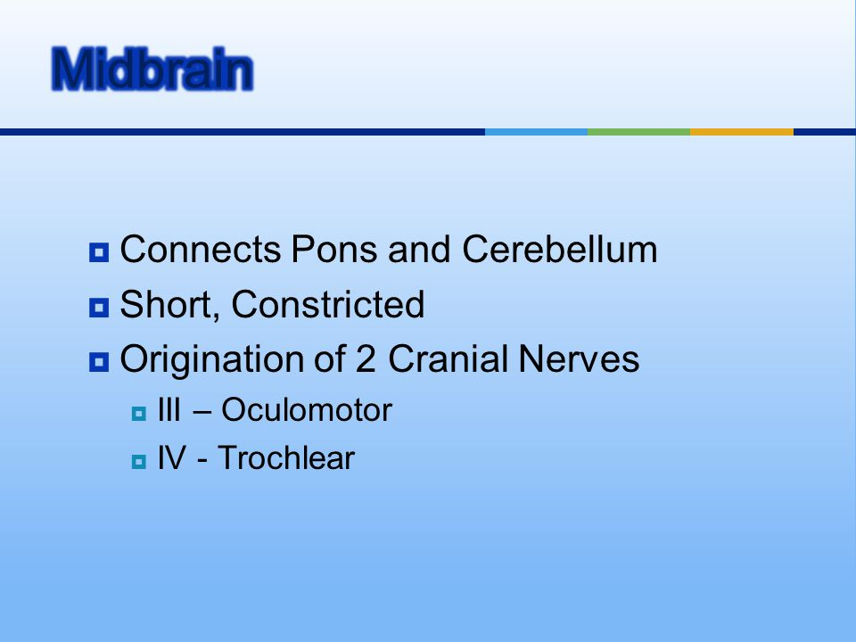 Midbrain Connects Pons and Cerebellum Short, Constricted