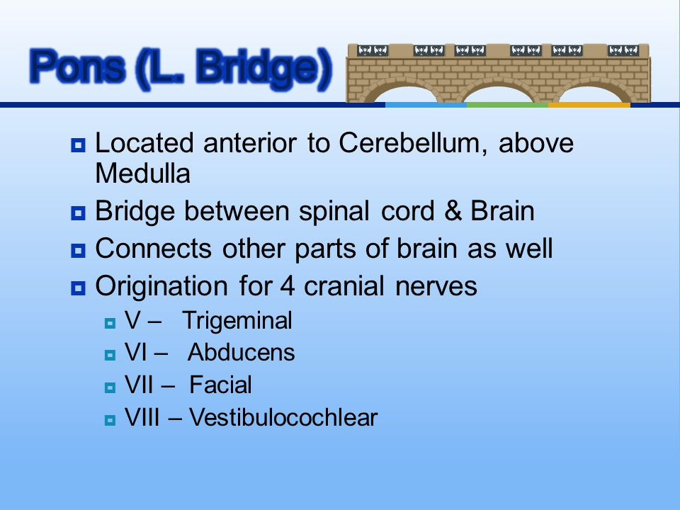 Pons (L. Bridge) Located anterior to Cerebellum, above Medulla