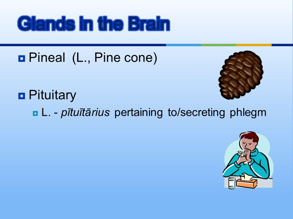 Glands in the Brain Pineal (L., Pine cone) Pituitary