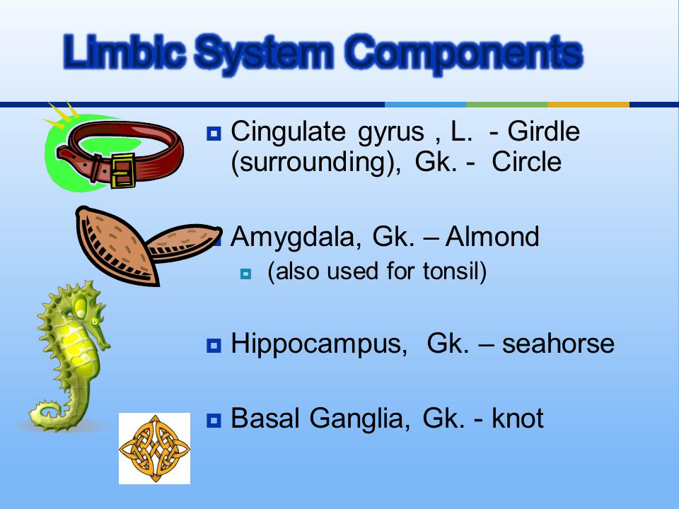 Limbic System Components